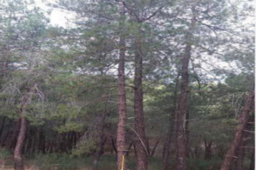 venta de pinar para madera